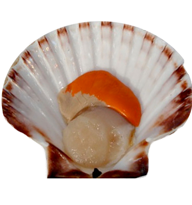 product-scallop